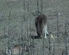 Eastern Grey Kangaroo eating2- Australia Stock Footage