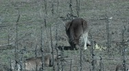 Stock Video Footage of Eastern Grey Kangaroo eating2- Australia