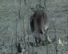 Eastern Grey Kangaroo eating- Australia Stock Footage