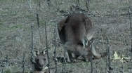Stock Video Footage of Eastern Grey Kangaroo eating- Australia