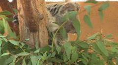 Koala Bear Close Up Stock Footage