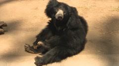 Cute Sloth Bear Sitting at San Diego Zoo Stock Footage
