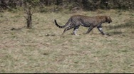 Leopard Passes Left to Right Stock Footage