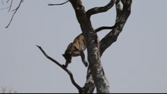 Leopard Descends from Tree  (HD) Stock Footage