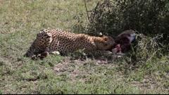 Cheetah on a Kill   (HD) Stock Footage