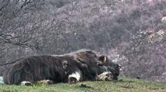 Huge muskox male - stock footage