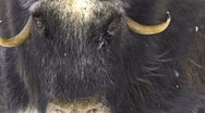Stock Video Footage of Muskox female