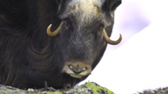 Close up of a muskox female - stock footage