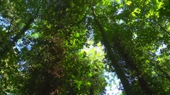 Looking up at a deciduous forest, quick pan right, sunlight, dappled shade. Stock Footage
