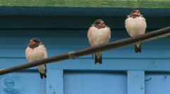 Feeding chicks swallow Stock Footage