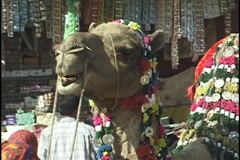 Camel chewing at Pushkar India Camel Fair Stock Footage