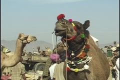 Camel at the Pushkar Camel Fair India Stock Footage