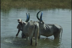 Oxen blue horns being washed in river in India Stock Footage