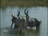 Stock Video Footage of Oxen blue horns being washed in river in India