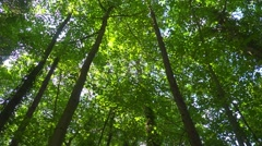 Looking up at a deciduous forest, slow pan left, sunlight, dappled shade. Stock Footage