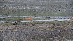 Sitka black tail deer Stock Footage