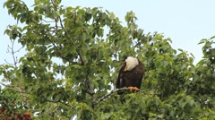 Bald Eagle Preens Wings Stock Footage