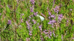 Cabbage butterfly in the wild Stock Footage