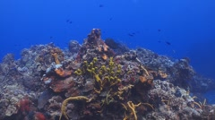Cowfish, colorful coral reef Stock Footage