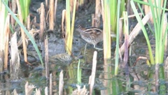 Little crake looking for food in swamp (immature) / Porzana parva Stock Footage