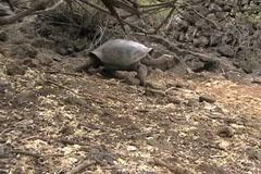 Giant Galapagos Tortoise Stock Footage