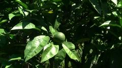 Mandarin Stock Footage