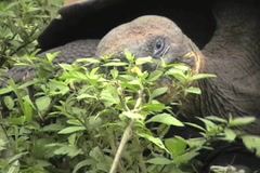 Giant Galapagos tortoise, found on the Galapagos Islands Stock Footage