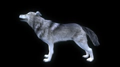 Howling wolf with alpha Stock Footage