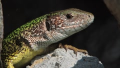 Green lizard (Lacerta viridis) resting on a hot rock in summer Stock Footage