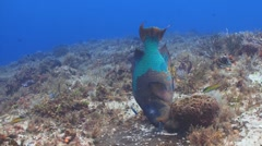 Rainbow parrotfish eating Stock Footage