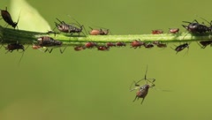 Aphids Stock Footage
