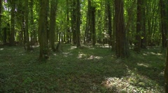 A deciduous forest, fast tilt up from forest floor to treetops Stock Footage