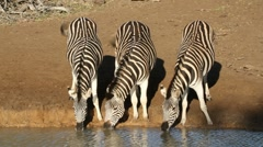 Plains Zebras drinking water, African wildlife, South Africa - stock footage
