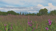 Wind Turbine over Blooming Fireweed Meadow Stock Footage