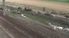 Flock of Sheep on a Railway Verge Stock Footage