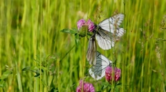 white butterfly on clover flowers  - aporia crataegi - stock footage