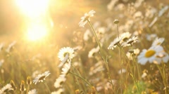 Daisies at sunset - stock footage