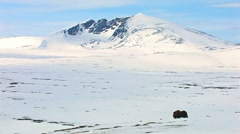 Lonely muskox male in stunning scenery - stock footage