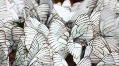 Many white butterflies on sand - aporia crataegi Stock Footage