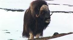 Huge muskox male at Dovrefjell Norway Stock Footage