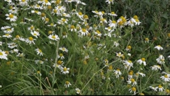 Ox-eye, or Moon Daisy. Stock Footage
