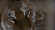 Tiger face Stock Footage