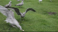 Seagulls squabbling for bread. Stock Footage