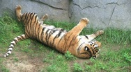 Tiger Rolls Over 02 Stock Footage