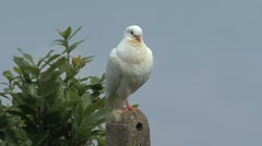 Tuscan white dove on a roof Stock Footage