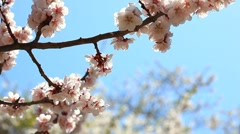 Cherry blossom - stock footage