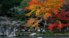 Maple foliage - stock footage