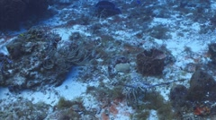 Spiny lobster on tropical reef Stock Footage
