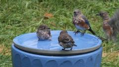 Family of Bluebirds in a Bird Bath Stock Footage