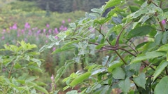 Rain on elderberry plant Stock Footage